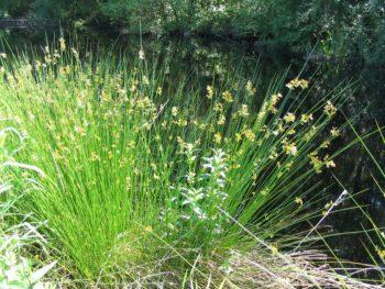 Dam Edging Plants Juncus