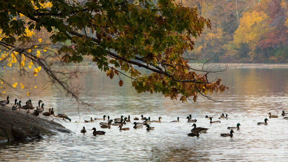 Duck Poo In Dams Can Destroy Water Quality