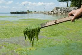 Stringy Algae in Dam