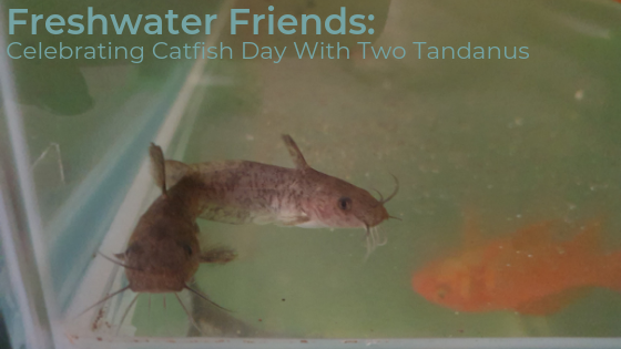Tandanus Tandanus - Freshwater Catfish - Perfect Fish For Dams